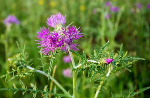 thistle flower summer