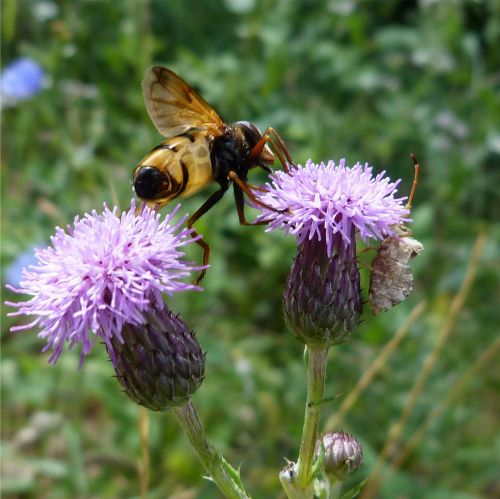 thistle bee insect