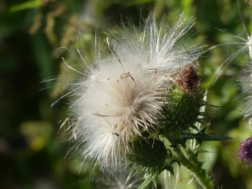 thistle blossomed out fluffy