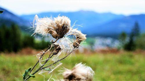 thistle autumn wind