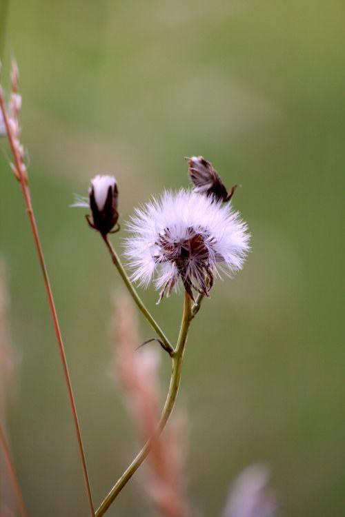 thistle pre grass