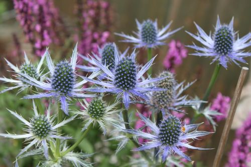 thistle steel blue blue flowers