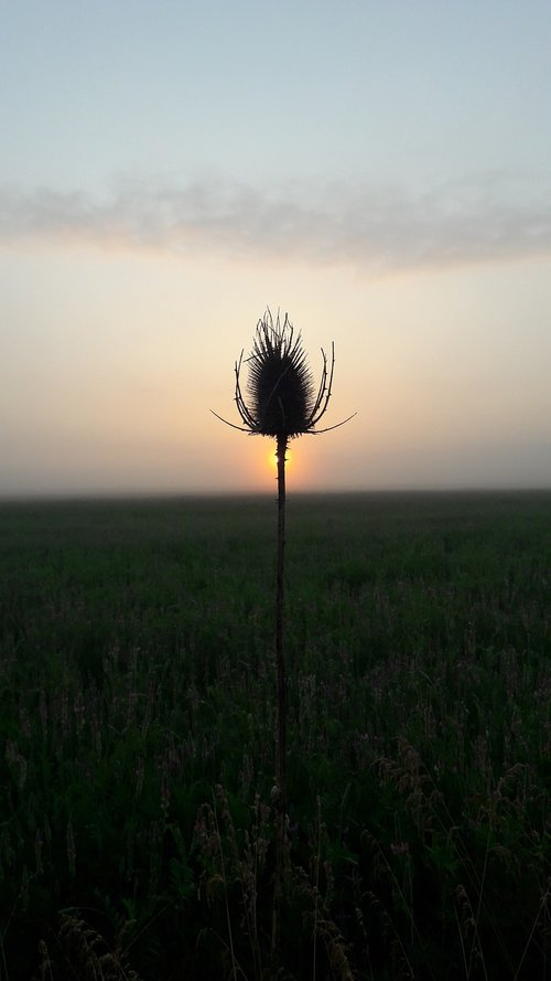thistle  sun  nature