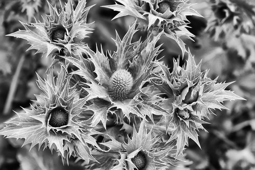 thistle  prickly  close up