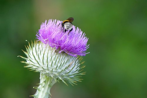 thistle  insect  nature