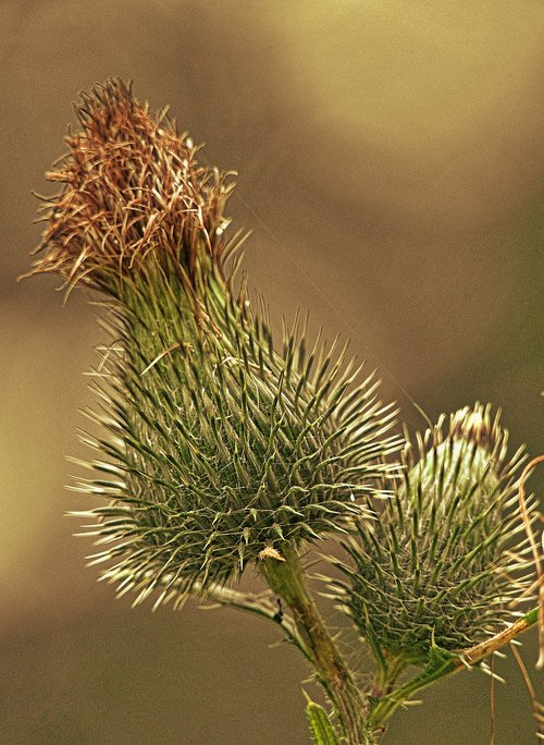 thistle  inflorescence  close up