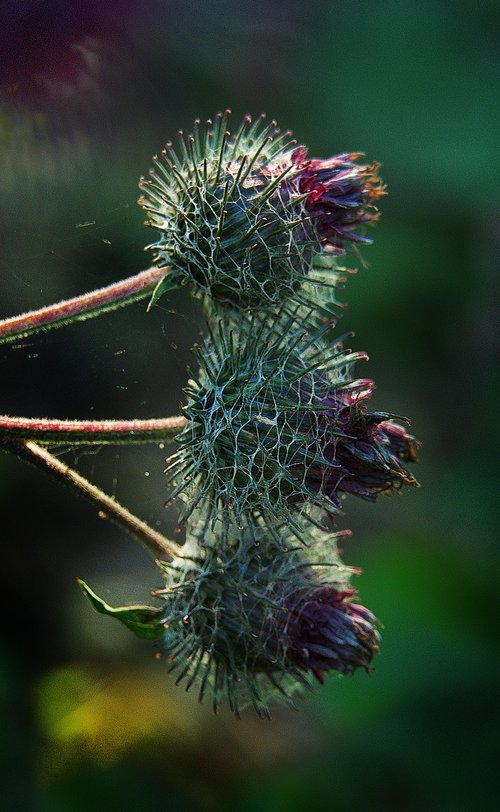 thistle  inflorescence  backlighting