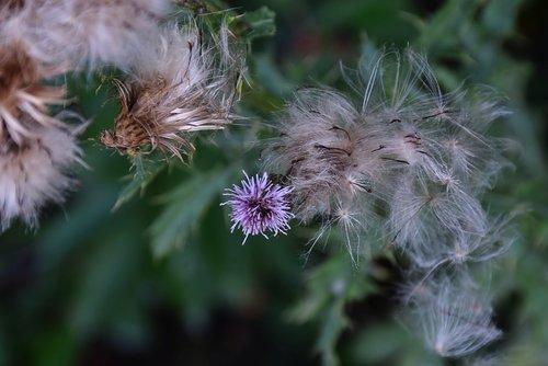 thistle  pappus  flower coronary