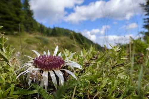thistle  silver thistle  mountain thistle
