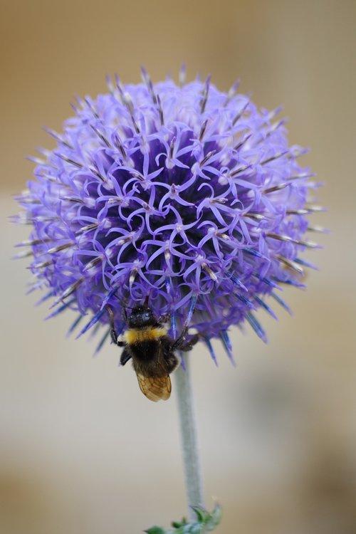 thistle  hummel  flower