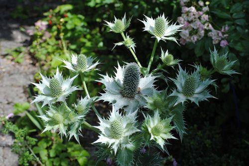 thistle inflorescence garden
