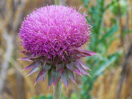 thistle  purple  flower