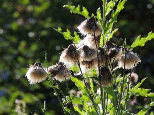 drakonas,sėklos,syklės sėklos,sėklos buvo,išblukęs,ruduo,gėlė,miškas