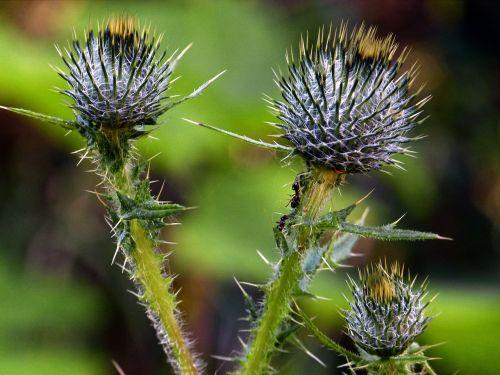 thistle wildflower wild plant