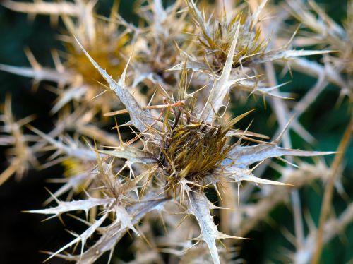 thistle trockenblume plant