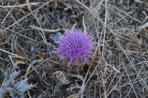 thistle dry flower