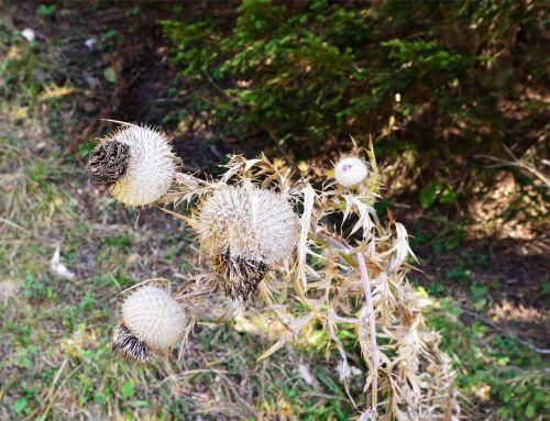thistle plants thorns