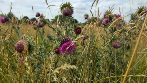 thistle flowers purple