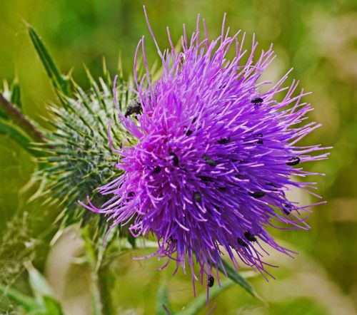 thistle flower small beetle insect