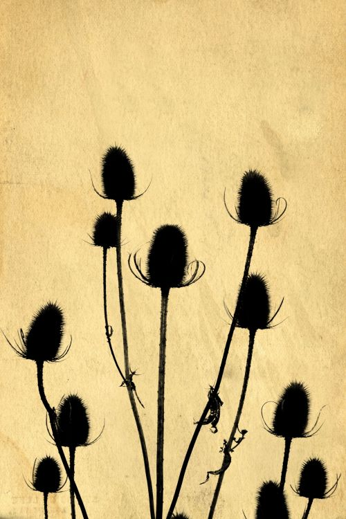Thistle Silhouettes