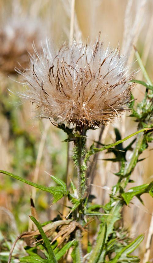 Thistledown Seed Head