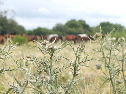 thistles thistle meadow nature