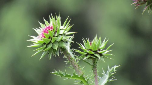 thistle green flower