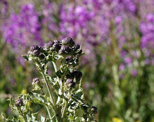 thistles plants plant wildlife