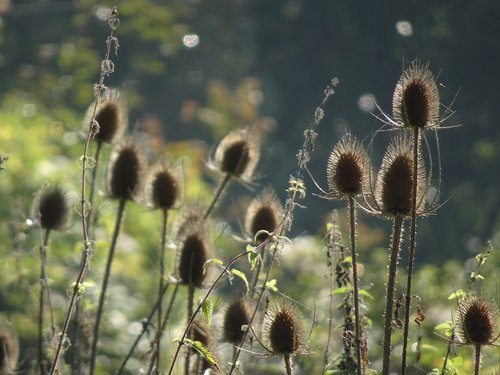 thistles  flowers  dried