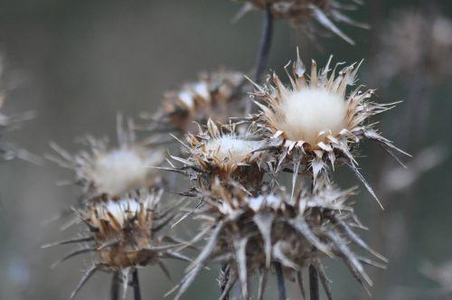 thistles flowers thorns