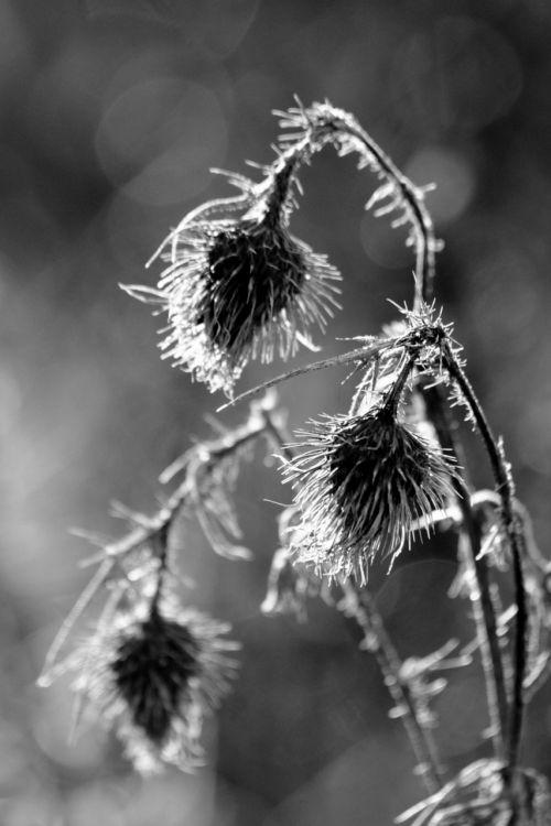 thistles thorns flower