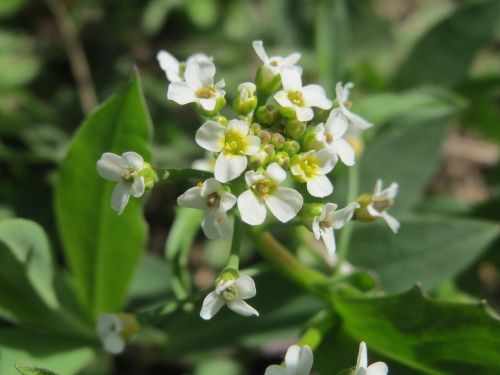 thlaspi arvense field penny-cress wildflower