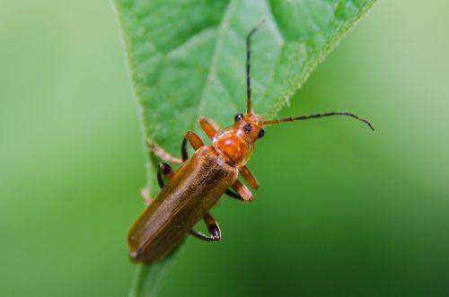 thorax bug plants
