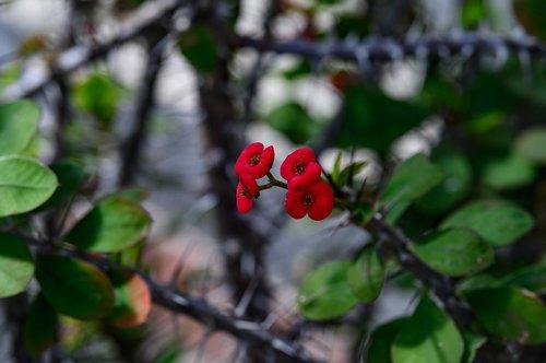 thorn  euphorbia milii  flower
