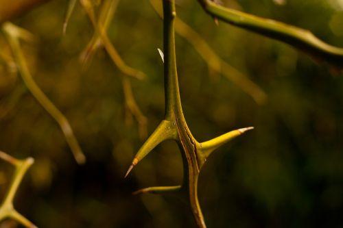 thorn plant vine