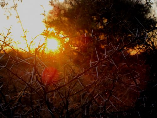 Thorn Bush At Dawn