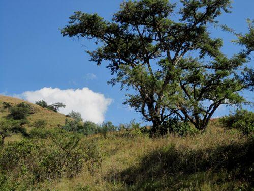 Thorn Tree And Veld In Drakensberg