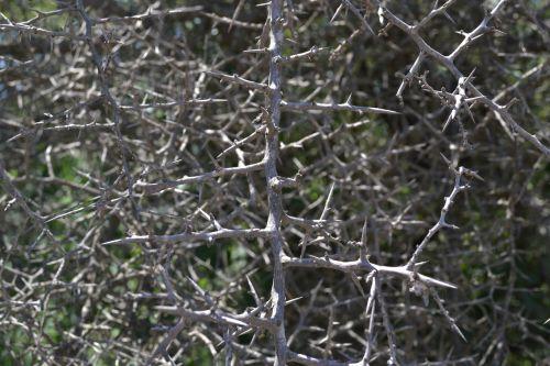 thorns blackthorn texture