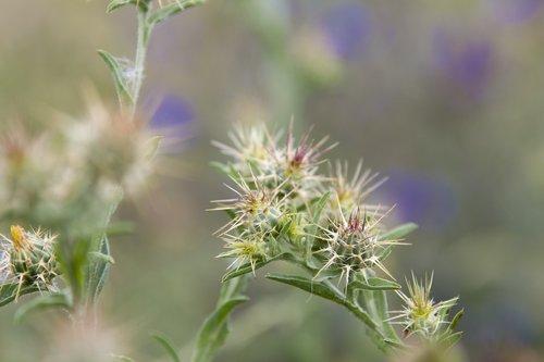 thorns  lilac  field