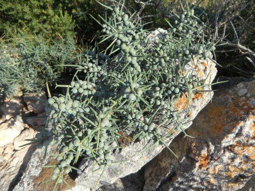 thorns spur prickly