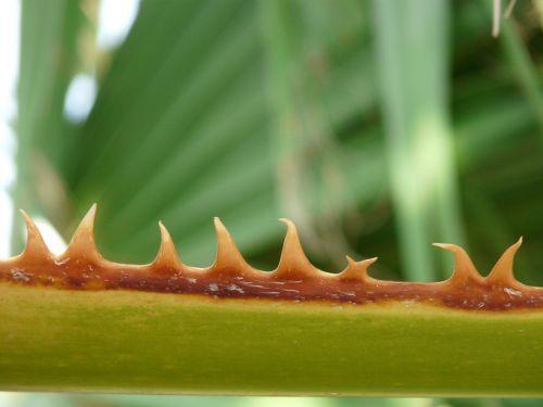 thorns pink leaf