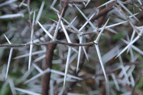 thorns acacia tree