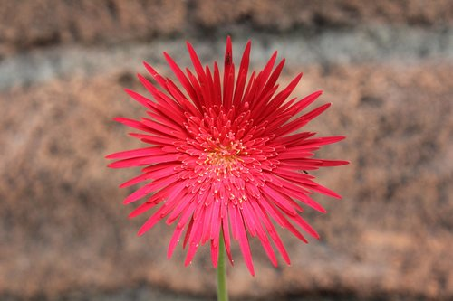 thorny  red  flower