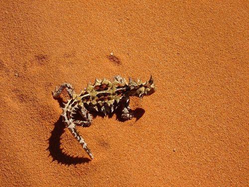 thorny dragon thorny devil moloch horridus