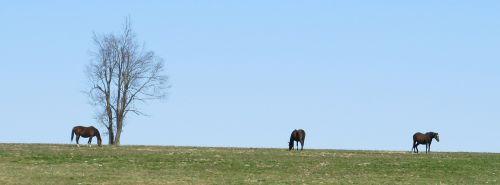 thoroughbreds grazing horse