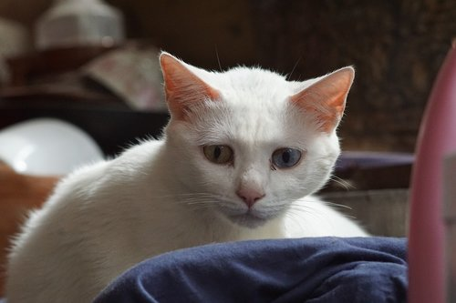 thoughtful  white  cat