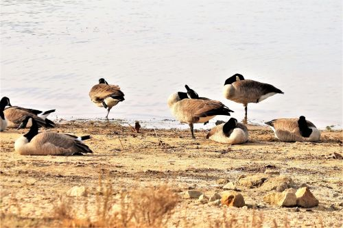 gamta, laukinė gamta, gyvūnai, paukščiai, žaidimų & nbsp, paukščiai, žąsys, žąsis, Kanada & nbsp, žąsys, Kanada & nbsp, žąsis, stovintis, vienas pėdos, grupė & nbsp, žąsys, papludimys, Krantas, ežeras, vanduo, balerina, trys balerinos žąsys