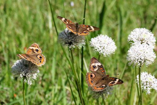 Three Buckeye Butterflies In Field