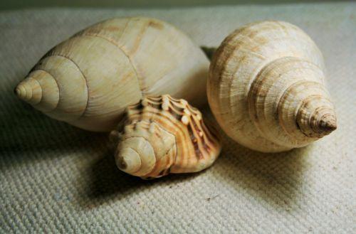 Three Conch Shells