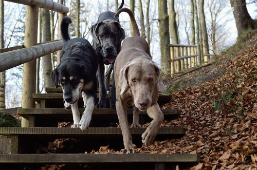three dogs weimaraner pack